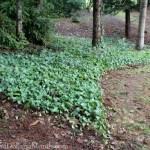 Dividing and Transplanting English Ivy