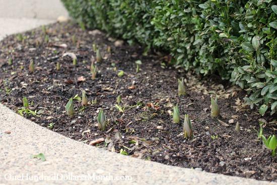 tulips popping through soil