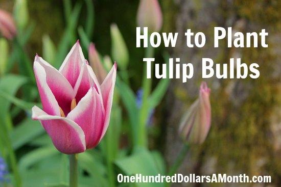 How-to-plant-tulip-bulbs-tulips