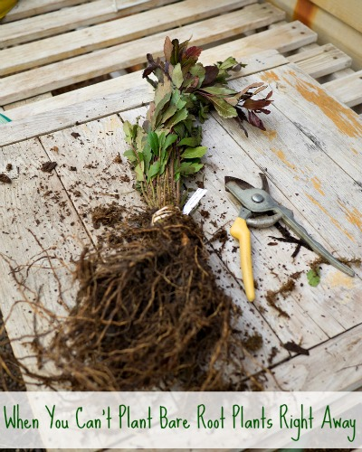 What to do When You Cant Plant Bare Root Plants Right Away