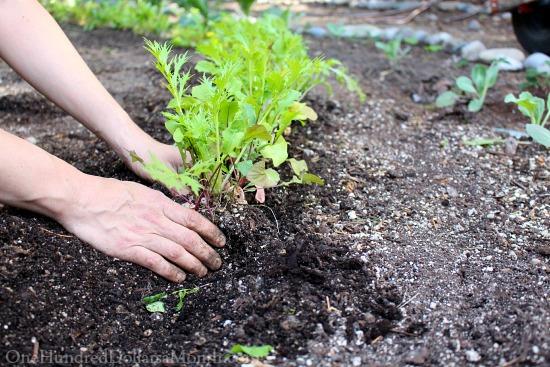 transplanting lettuce