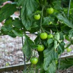 Small is Beautiful – A Tour of Mrs. HB's Vegetable Garden