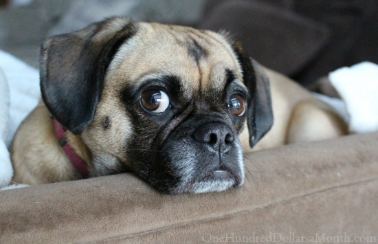 lucy-puggle