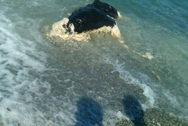 Απίστευτη εικόνα: Μοσχάρι... ξέβρασε η θάλασσα στη Βελίκα!