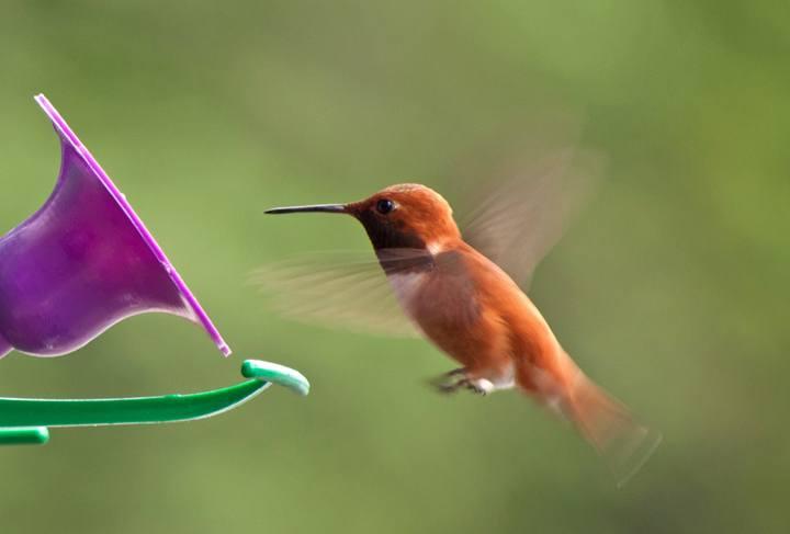Hummingbird in Great Bear Rainforest