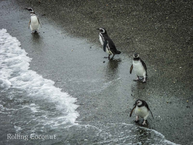 Ushuaia Argentina Penguins Diving Island Beagle Channel ooaworld Rolling Coconut Photo Ooaworld
