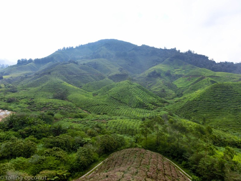 Tea Plantations Cameron Highlands photo ooaworld Rolling Coconut