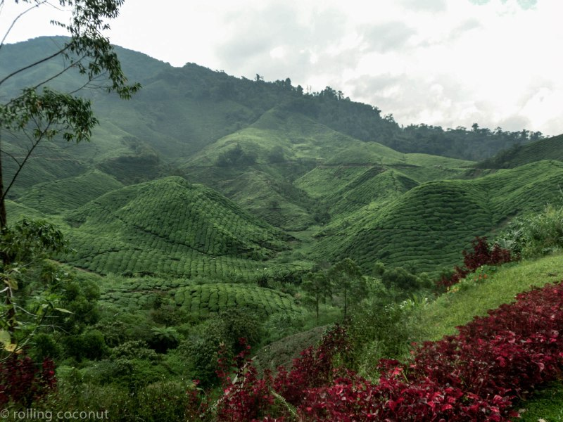 View BOH Plantation Cameron Highlands photo ooaworld Rolling Coconut