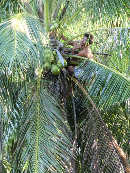 coconuts palawan philippines photo ooaworld Rolling Coconut