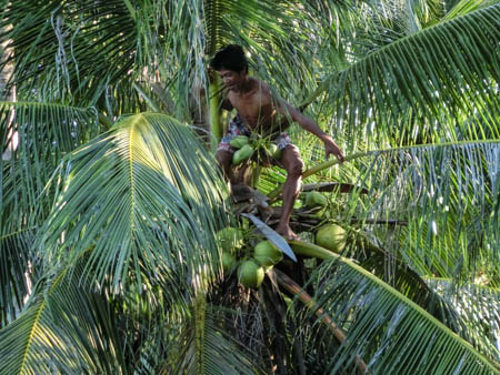climbing coconut philippines photo ooaworld Rolling Coconut