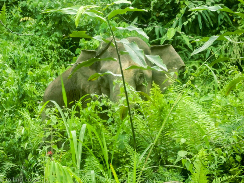 Pygmy elephant Danum Valley photo ooaworld Rolling Coconut