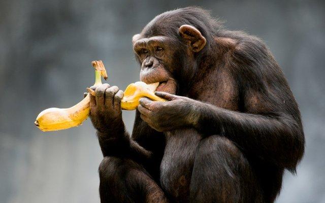 macaco-comendo-banana