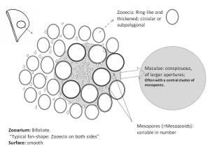 Peronopora_genus