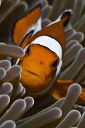 pesce-pagliaccio-anemone-sfondo