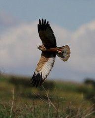 Western Marsh Harrier flying past