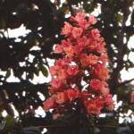 Red Chesnut (Castaño Rojo)