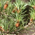 Pine (Pino)
