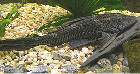 Plecostomus or tank cleaning fish