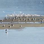 Aves se acomodam sobre um banco de areia, fruto do assoreamento da Lagoa de Saquarema (Foto: Paulo Lulo)