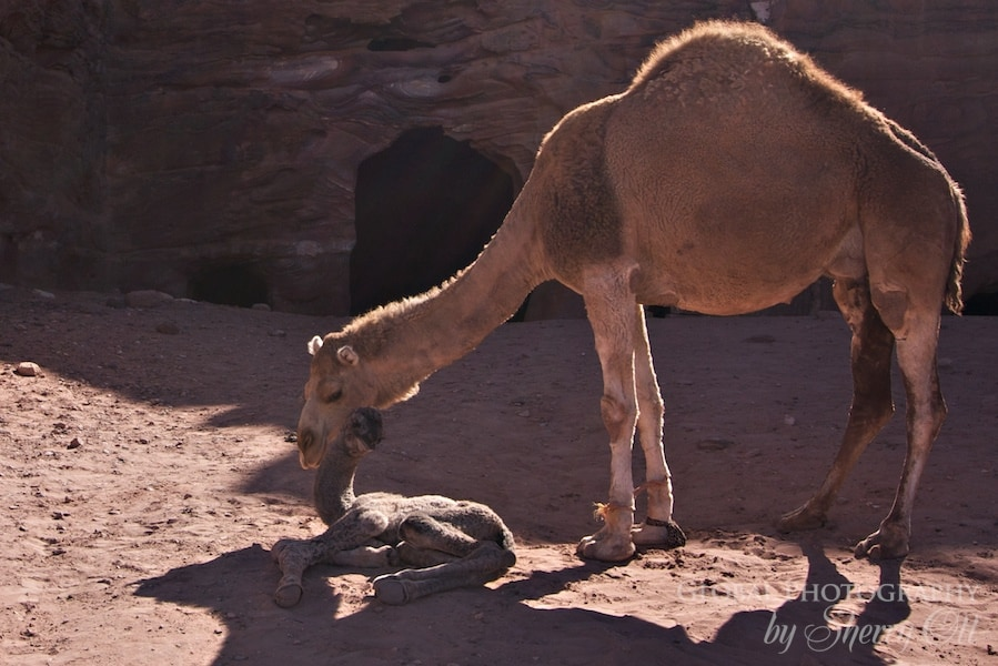 baby camel