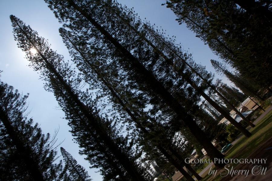lanai pine trees