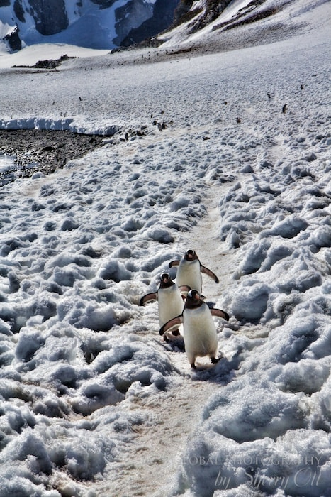 Penguins always have the right of way in Antarctica