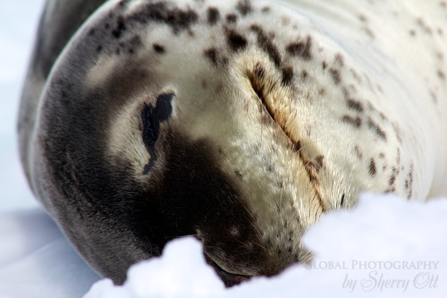 A leopard seal takes a snooze