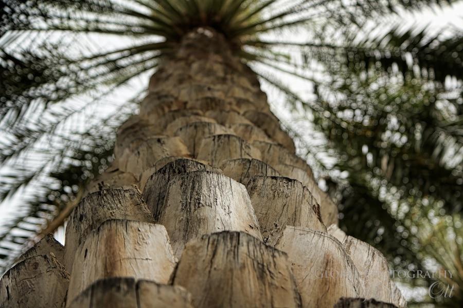 Date palm tree oman