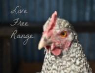 Live Free Range Chicken