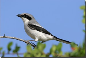Loggerhead shrike impales snakes on barbed wire