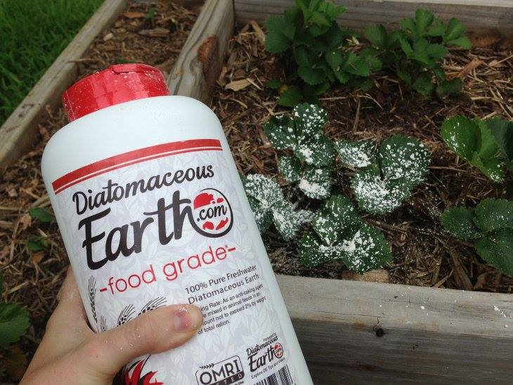 How to use DE against potato bugs. #DE #diatomaceousearth #gardening #potatobeetles www.ourlifeouthere.com