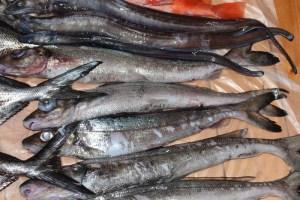 ギス,オキギス,東京湾,深海魚,釣り