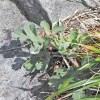 食べづらすぎる話題の山菜「長命草」ことボタンボウフウの食べ方を考える