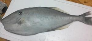 ウスバハギ,地魚