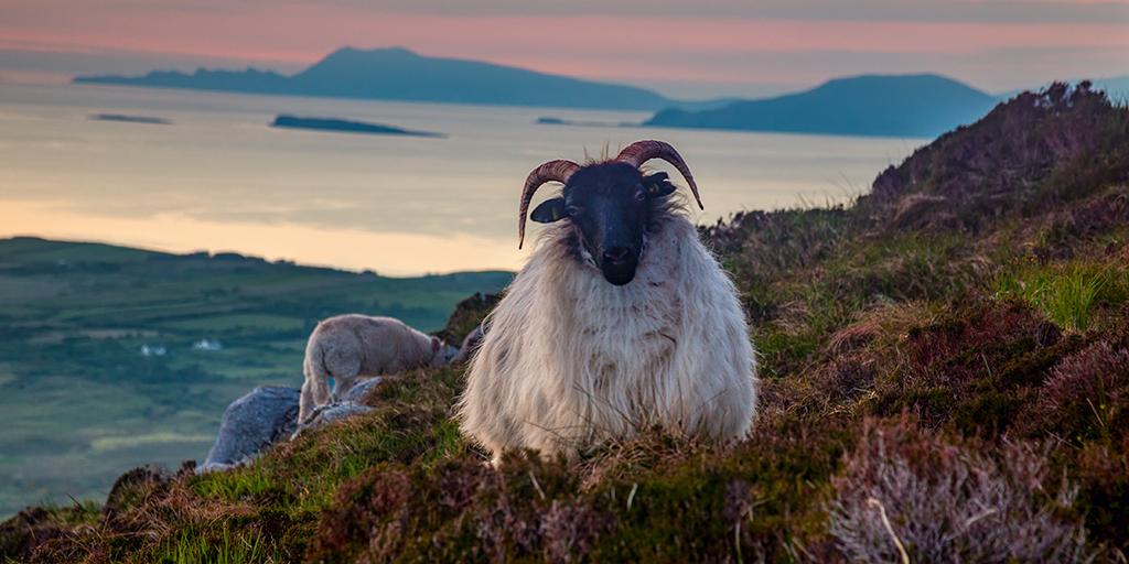 Sheep v1