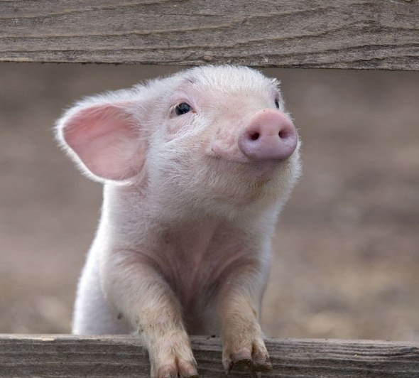 happy-pig-smiling