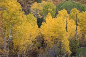Aspens In Full On Fall Color