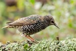 The common starling, also known as the European starling, or in the British Isles just the starling, is a medium-sized passerine bird in the starling family, Sturnidae. Wikipedia