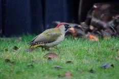 Green Woodpecker looking for food in a neighbours garden