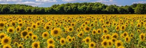 A field of sunflowers near Ranvilles Lane, Fareham