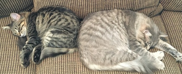 adopt-two-cats-together