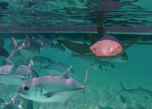 Belize Barrier Reef, Shark & Ray Alley: Ammenhai auf Kollisionskurs
