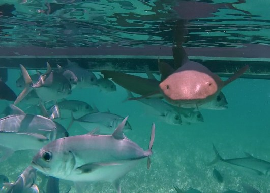 Belize Barrier Reef, Shark & Ray Alley: Ammenhai auf Kollisionskurs