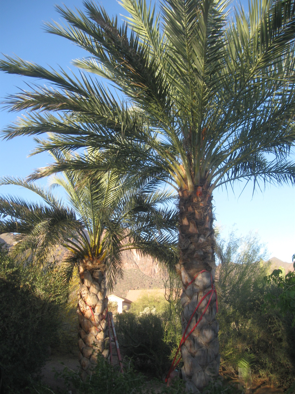Fullsize Of Medjool Date Palm