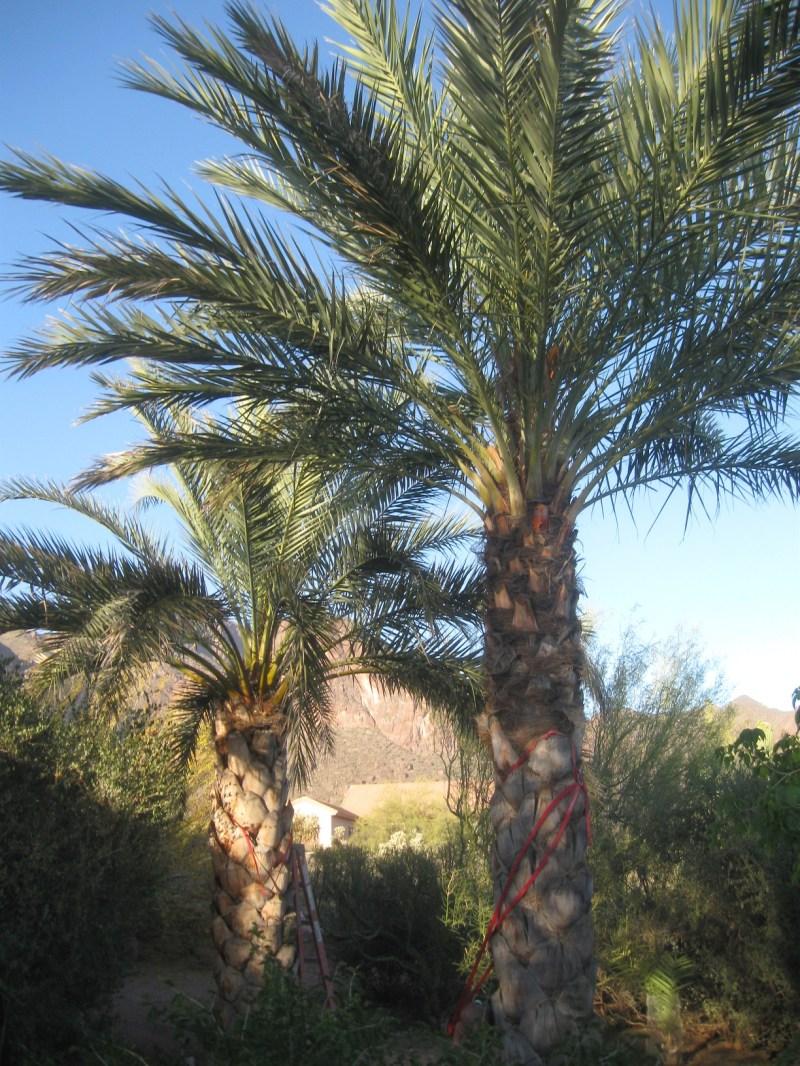 Large Of Medjool Date Palm