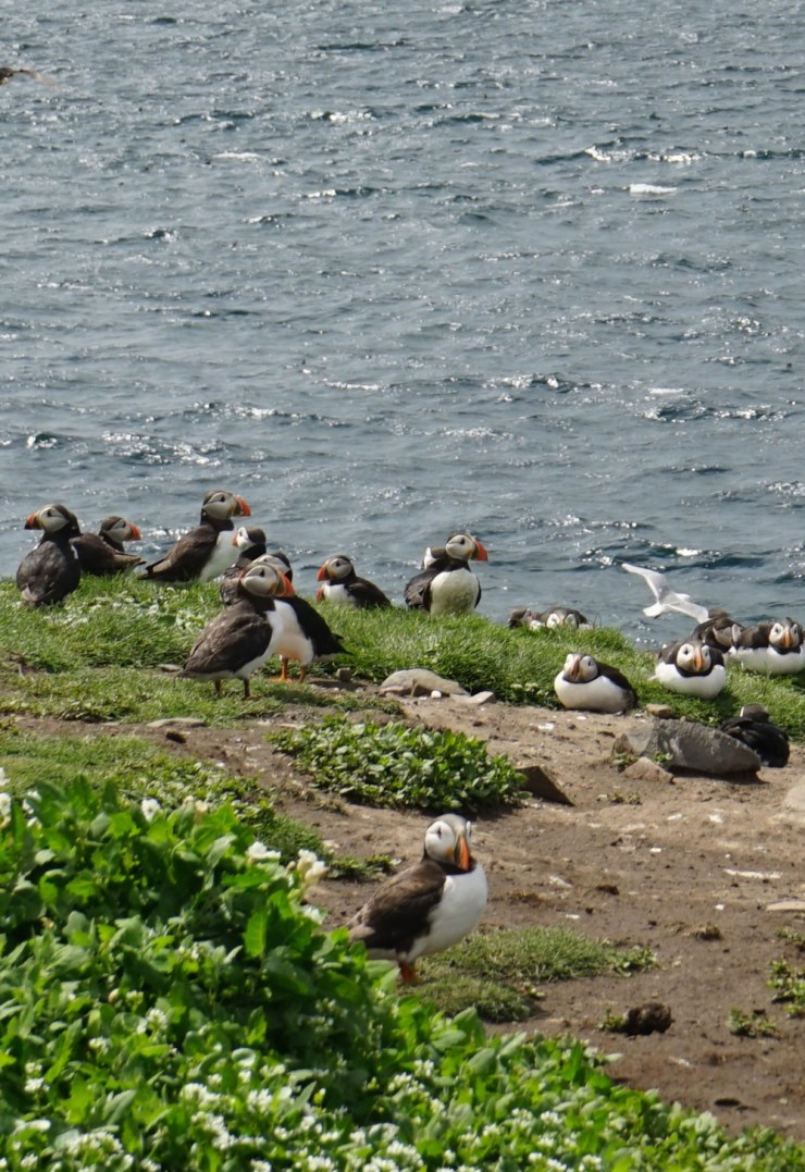 Puffins on Inner Farne, Northumberland