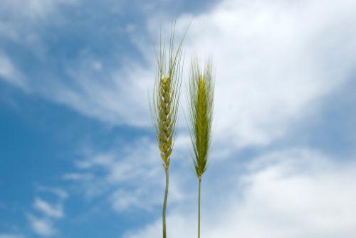 trigo y cizaña
