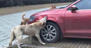 chiens-voiture-2