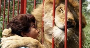 L'incroyable geste de remerciement d'un lion envers son sauveur