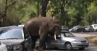 Vidéo. Une éléphante en chaleur démolit une douzaine de voitures